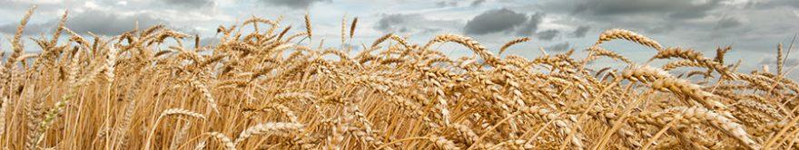 Изображение для стеклянного кухонного фартука, скинали: пшеница, fartux1302