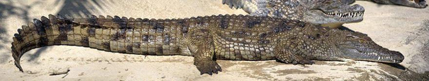 Изображение для стеклянного кухонного фартука, скинали: крокодил, fartux1492