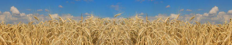 Изображение для стеклянного кухонного фартука, скинали: пшеница, fartux1664