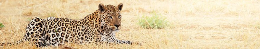 Изображение для стеклянного кухонного фартука, скинали: животные, леопард, fartux1697