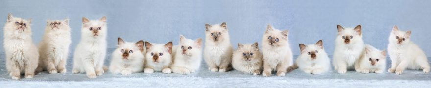 Изображение для стеклянного кухонного фартука, скинали: животные, кошки, jivdoma005