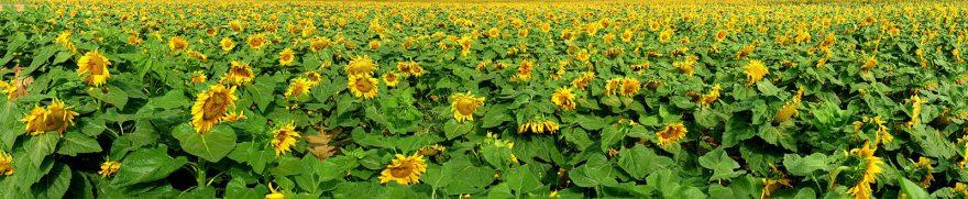 Изображение для стеклянного кухонного фартука, скинали: цветы, поле, подсолнухи, rastcve003