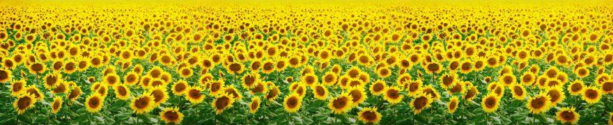 Изображение для стеклянного кухонного фартука, скинали: цветы, поле, подсолнухи, rastcve009