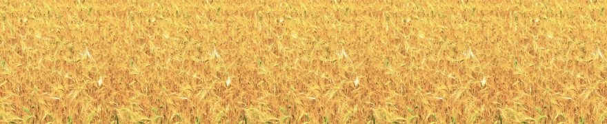 Изображение для стеклянного кухонного фартука, скинали: поле, пшеница, rastcve013
