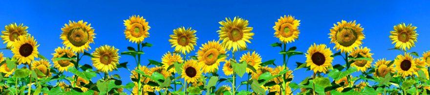 Изображение для стеклянного кухонного фартука, скинали: цветы, подсолнухи, небо, skin126