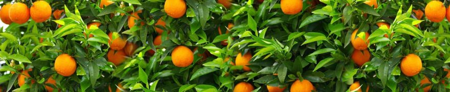 Изображение для стеклянного кухонного фартука, скинали: листья, фрукты, апельсины, skinap153
