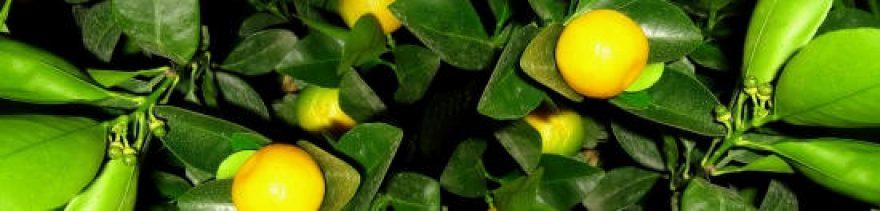 Изображение для стеклянного кухонного фартука, скинали: листья, фрукты, мандарины, skinap32