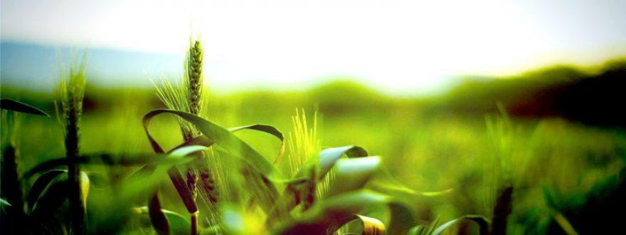 Изображение для стеклянного кухонного фартука, скинали: трава, пшеница, skinap57