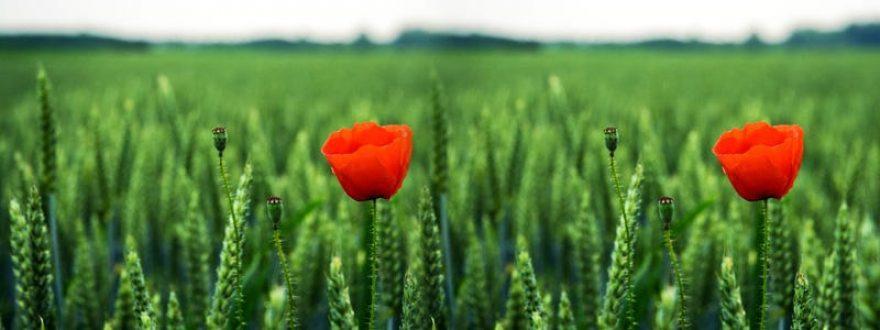 Изображение для стеклянного кухонного фартука, скинали: цветы, маки, трава, skinap61