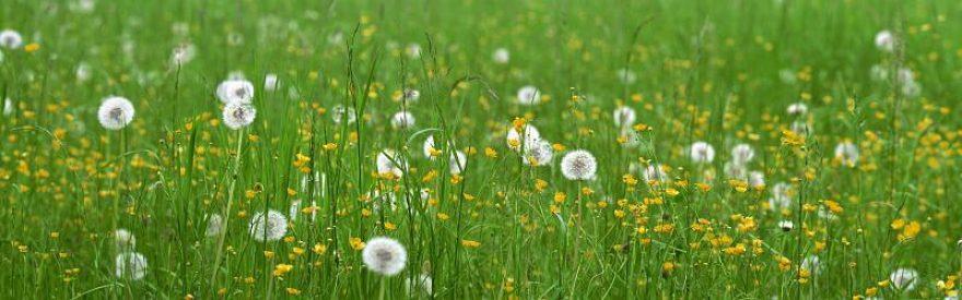 Изображение для стеклянного кухонного фартука, скинали: цветы, трава, одуванчики, skinfil0