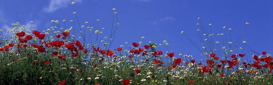 Изображение для стеклянного кухонного фартука, скинали: цветы, маки, небо, ромашки, skinfil16