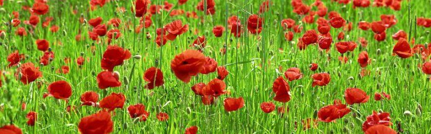 Изображение для стеклянного кухонного фартука, скинали: цветы, маки, трава, skinfil18