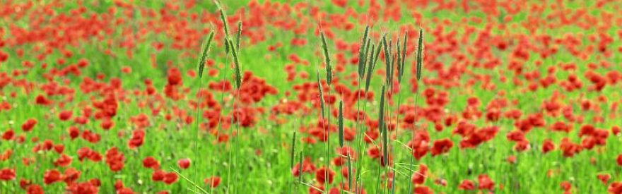 Изображение для стеклянного кухонного фартука, скинали: цветы, маки, трава, skinfil19
