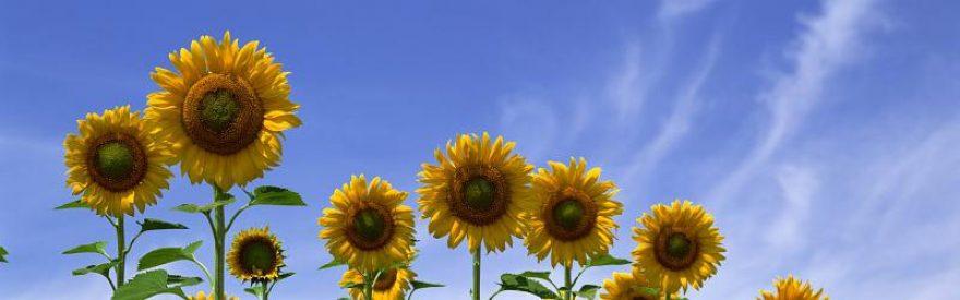 Изображение для стеклянного кухонного фартука, скинали: цветы, подсолнухи, небо, skinfil20