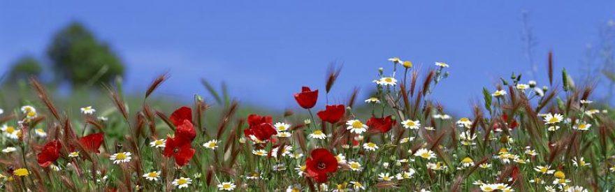 Изображение для стеклянного кухонного фартука, скинали: цветы, пшеница, ромашки, skinfil2