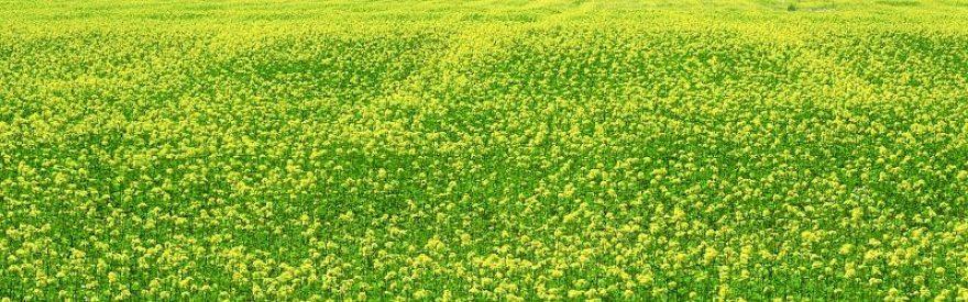 Изображение для стеклянного кухонного фартука, скинали: цветы, поле, skinfil6