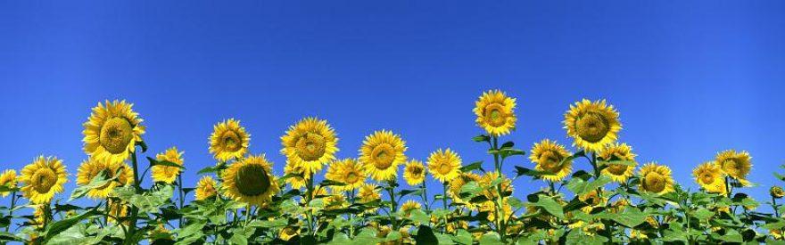 Изображение для стеклянного кухонного фартука, скинали: цветы, подсолнухи, небо, skinfil7