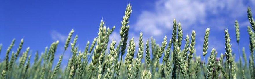 Изображение для стеклянного кухонного фартука, скинали: пшеница, skinfil9
