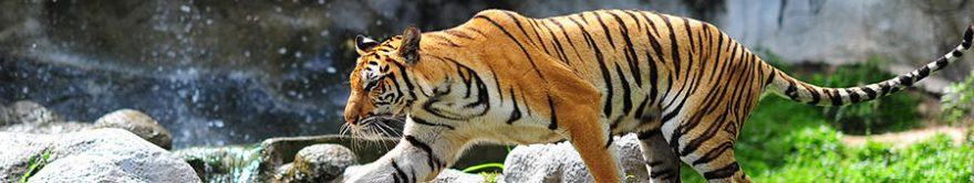 Изображение для стеклянного кухонного фартука, скинали: животные, тигры, fartux1858